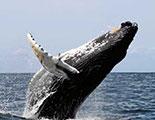 CyberDodo et les Baleines (1-10)