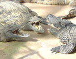 Le quiz des Alligators