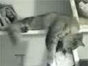Le chat cascadeur !