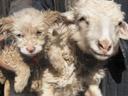 Une brebis donne naissance à un chien en Chine